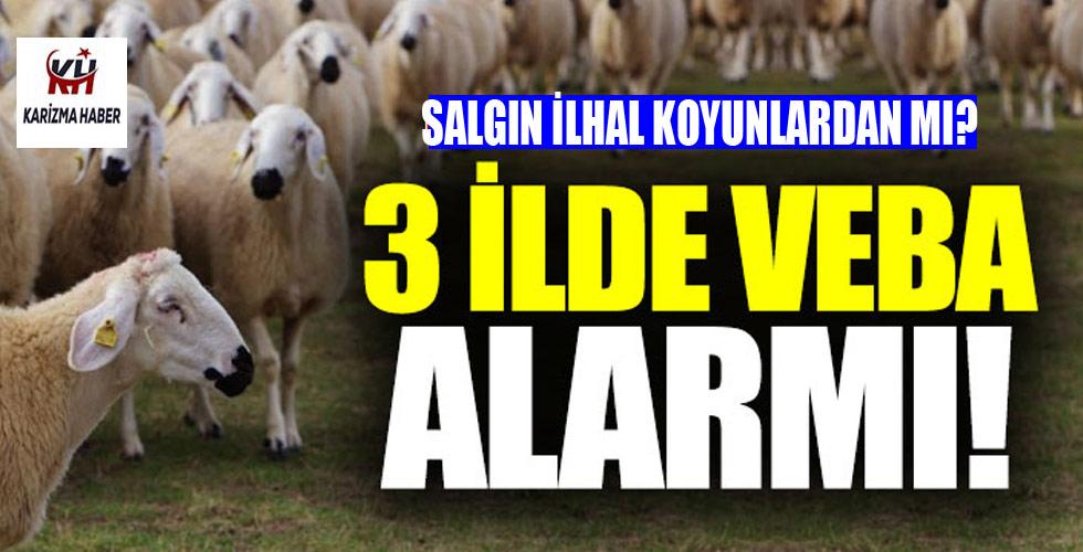 Koyunlarda Veba ve Çiçek Hastalığı Alarmı…!